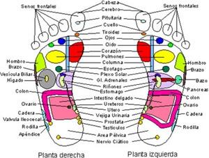 reflexología y los organos